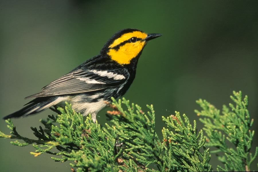Golden-Cheeked Warbler, an endangered species native to Comal County